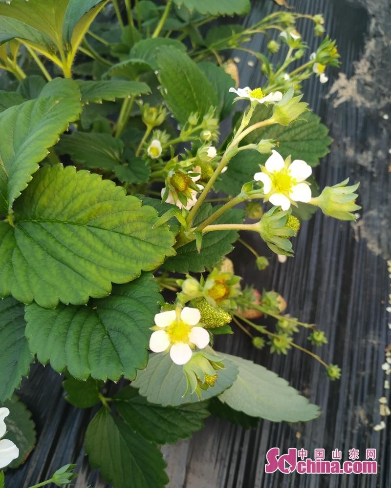 <br/>  1月23日,走进花园乡宋窑村种植户田作仲的草莓大棚里,一垄垄绿色的秧苗生机勃勃,叶子中间绽放着一簇簇白色的小花,花朵下颗颗晶莹剔透的&ldquo;小灯笼&rdquo;散发出草莓的清香,洋溢着一番&ldquo;乱点碎红草莓香&rdquo;的浓浓春意。临近年关,草莓行情一路看好,让田作仲喜上眉梢。<br/>