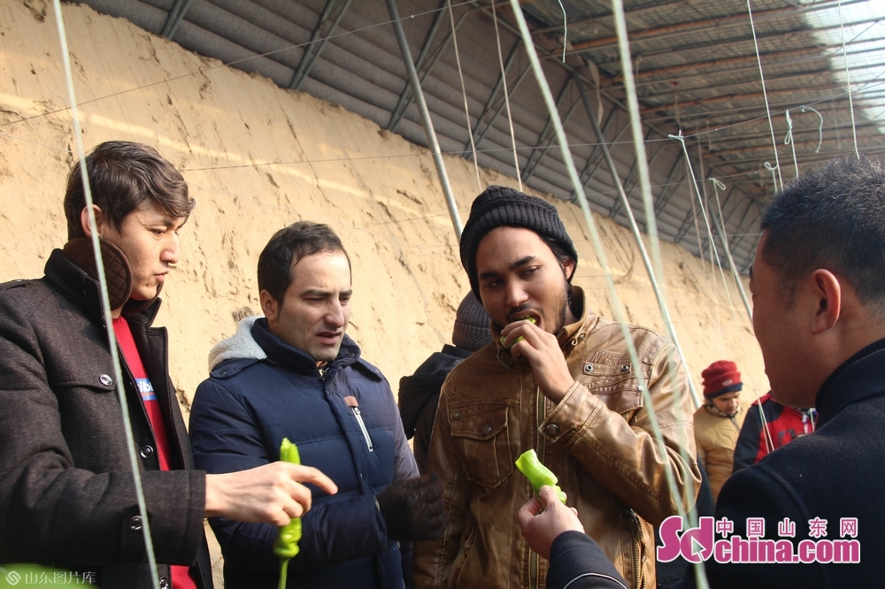 Foreigners eat fresh pepper Huiquan Agro-ecological Park in Zhangqiu District of Jinan, capital of Shandong Province, on January 3, 2019. More than 10 foreign students at Shandong University arrived in Zhangqiu Huiquan Agro-ecological Park to gain intuitive insights into the development of modern agriculture and agricultural tourism in Shandong.<br/>