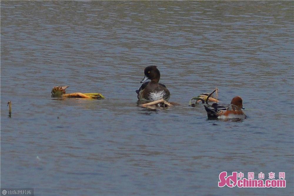 <br/>  10月23日,一只青头潜鸭雌鸟在青岛市城阳区两河入海口湿地栖息。(左)<br/>