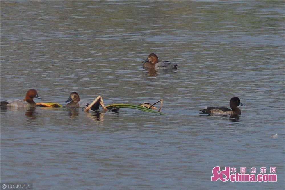 <br/>  10月23日,一只青头潜鸭雌鸟在青岛市城阳区两河入海口湿地觅食。(右)<br/>