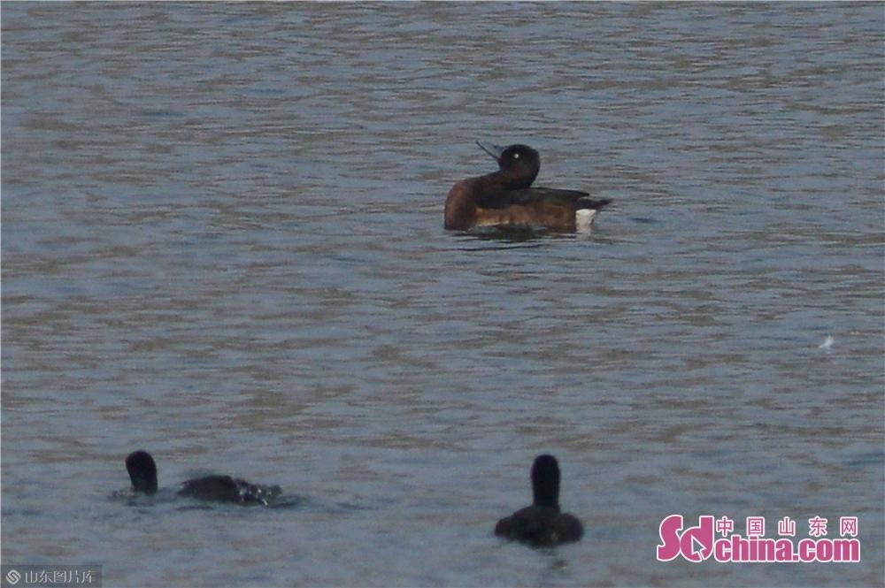 <br/>  10月23日,一只青头潜鸭在青岛市城阳区两河入海口湿地觅食。(上)