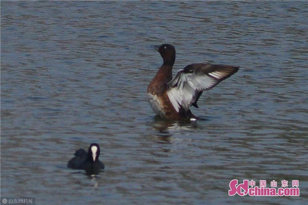 <br/>  10月23日,青头潜鸭在青岛市城阳区两河入海口湿地栖息。<br/>