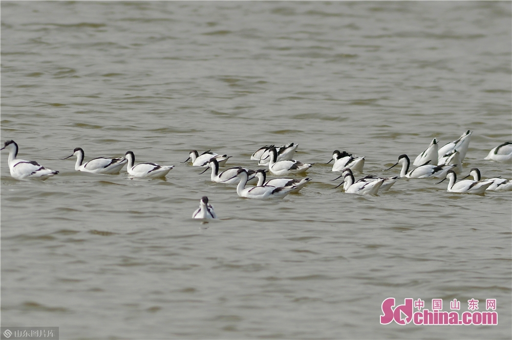 <br/>  2019年10月28日,这是在青岛市城阳区胶州湾两河入海口候鸟栖息地觅食的反嘴鹬。<br/>
