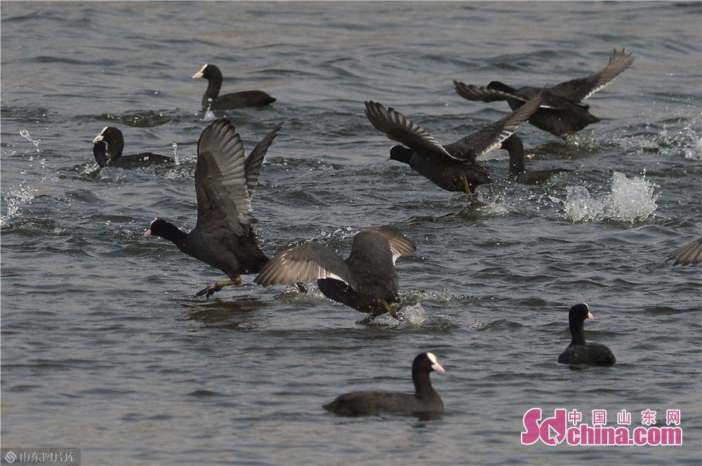 <br/>  2019年10月28日,这是在青岛市城阳区胶州湾两河入海口候鸟栖息地嬉戏的骨顶鸡。<br/>