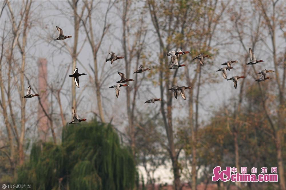 <br/>  2019年10月28日,这是在青岛市城阳区胶州湾两河入海口候鸟栖息地拍摄的鸭群。图为极危物种&ldquo;青头潜鸭&rdquo;跟随鸭群巡游觅食。<br/>