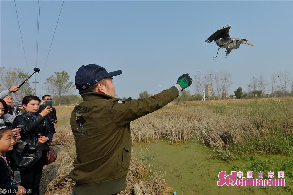 <br/>  2019年11月9日,志愿者在青岛城阳胶州湾白沙河入海口湿地放归前期救护的国家三有保护鸟类苍鹭。<br/>