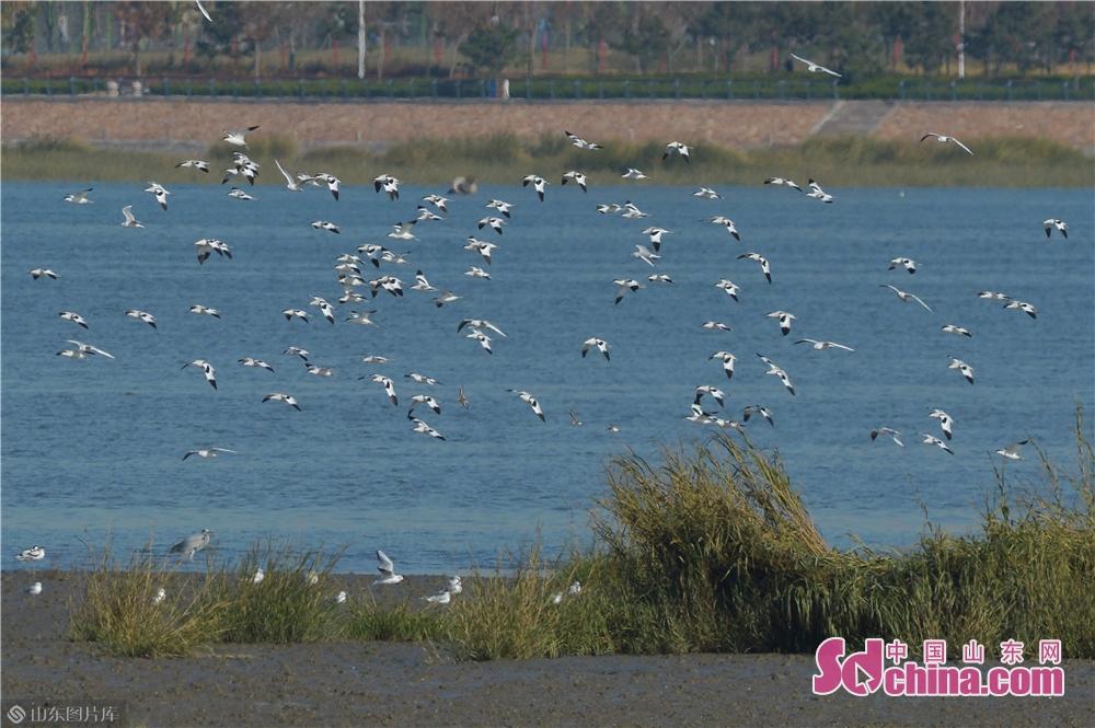 <br/>  2019年11月9日,这是在青岛城阳胶州湾白沙河入海口湿地拍摄的越冬候鸟。