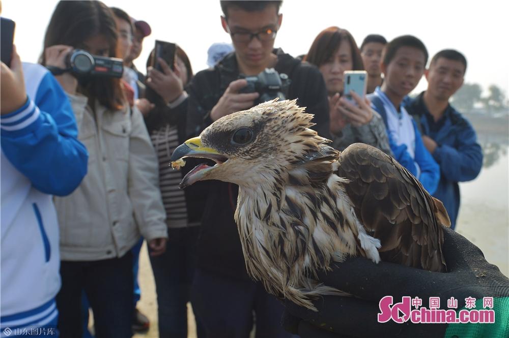 <br/>  2019年11月9日,志愿者在青岛城阳胶州湾白沙河入海口湿地放归前期救护的国家二级重点保护猛禽蜂鹰。<br/>