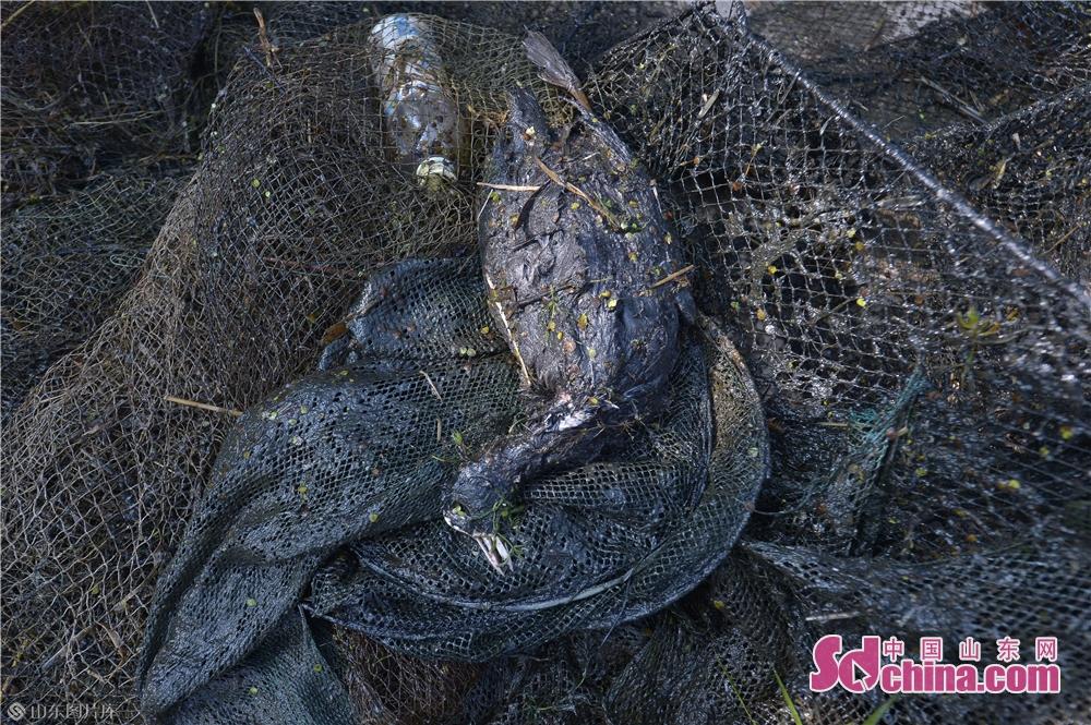 <br/>  2019年11月9日,这是一只在青岛城阳胶州湾白沙河入海口湿地被地网困死的水鸟。<br/>
