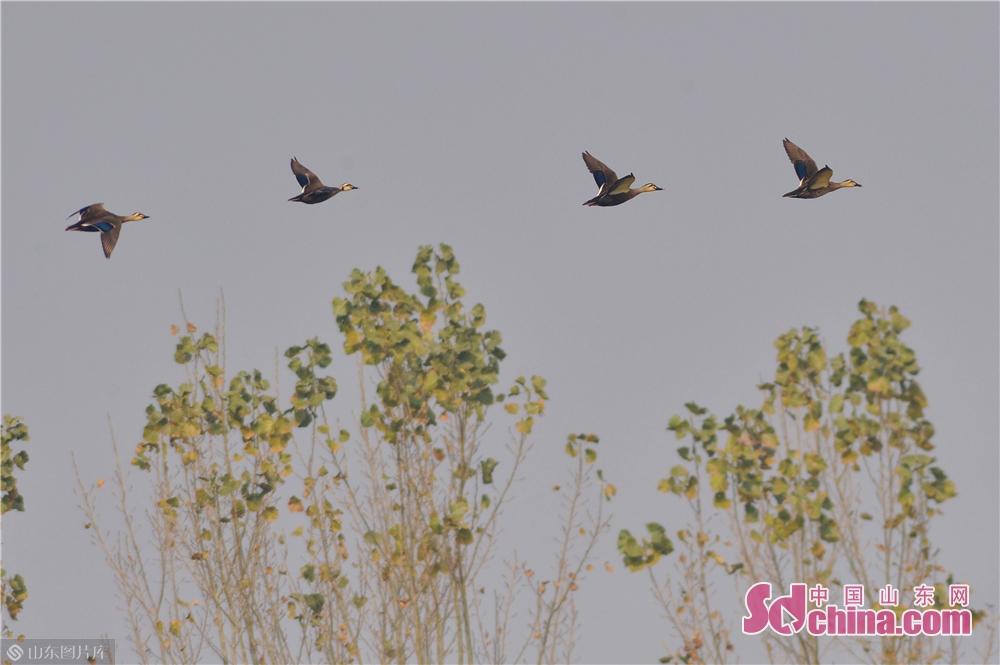 <br/>  2019年11月9日,这是在青岛城阳胶州湾白沙河入海口湿地拍摄的越冬候鸟。<br/>