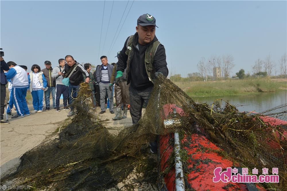 <br/>  2019年11月9日,志愿者在青岛城阳胶州湾白沙河入海口湿地清除地网。<br/>
