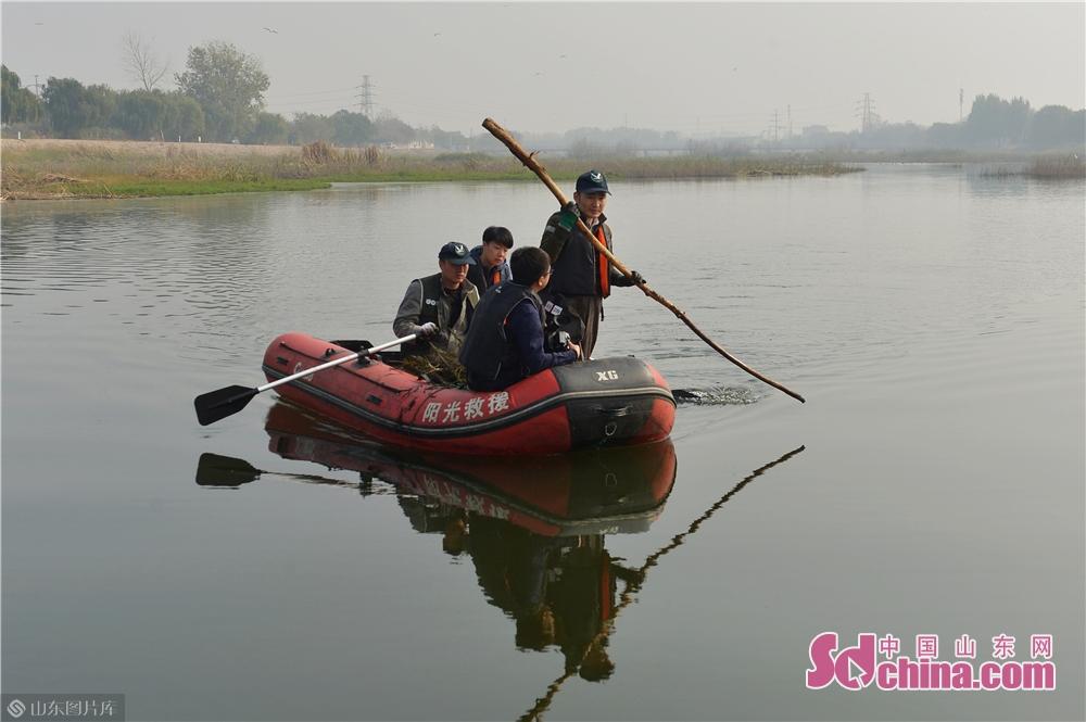 <br/>  2019年11月9日,志愿者在青岛城阳胶州湾白沙河入海口湿地乘船清理地网。<br/>