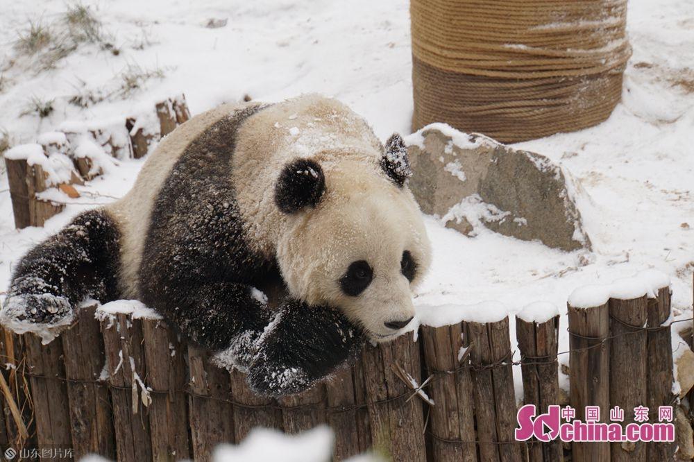 <br/><br/>14日,永利国际投注平台迎来了期盼已久的降雪,永利国际投注平台动物园的动物们在雪地里尽情地撒欢儿。<br/>