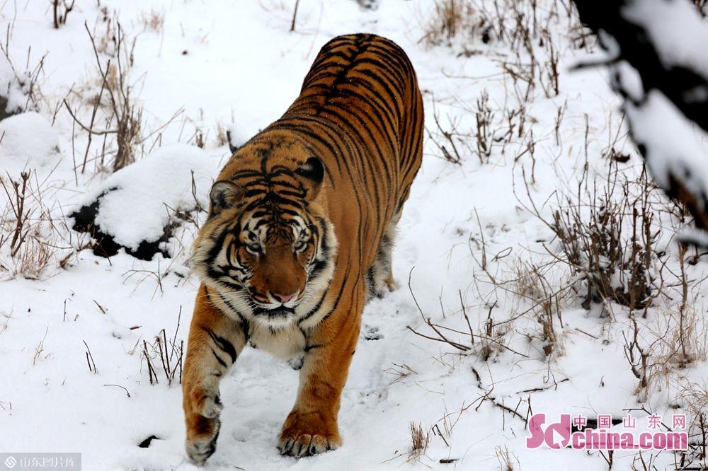 <br/>  永利国际投注平台动物园的动物们在雪地里尽情地撒欢儿。