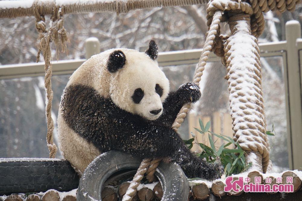 <br/>  永利国际投注平台动物园的动物们在雪地里尽情地撒欢儿。<br/>