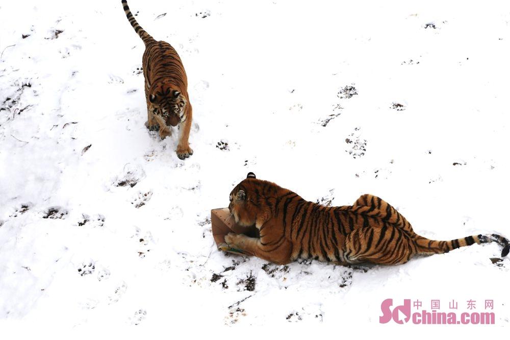 <br/>  老虎在雪地中打闹嬉戏。<br/>