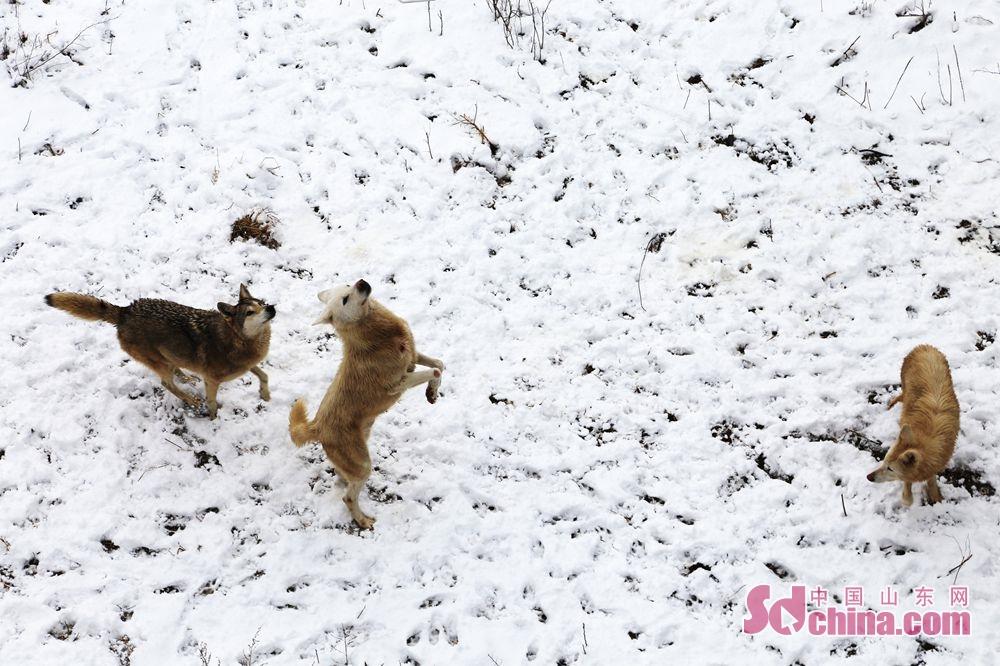 <br/>  群狼在雪地中跳跃撒欢。<br/>