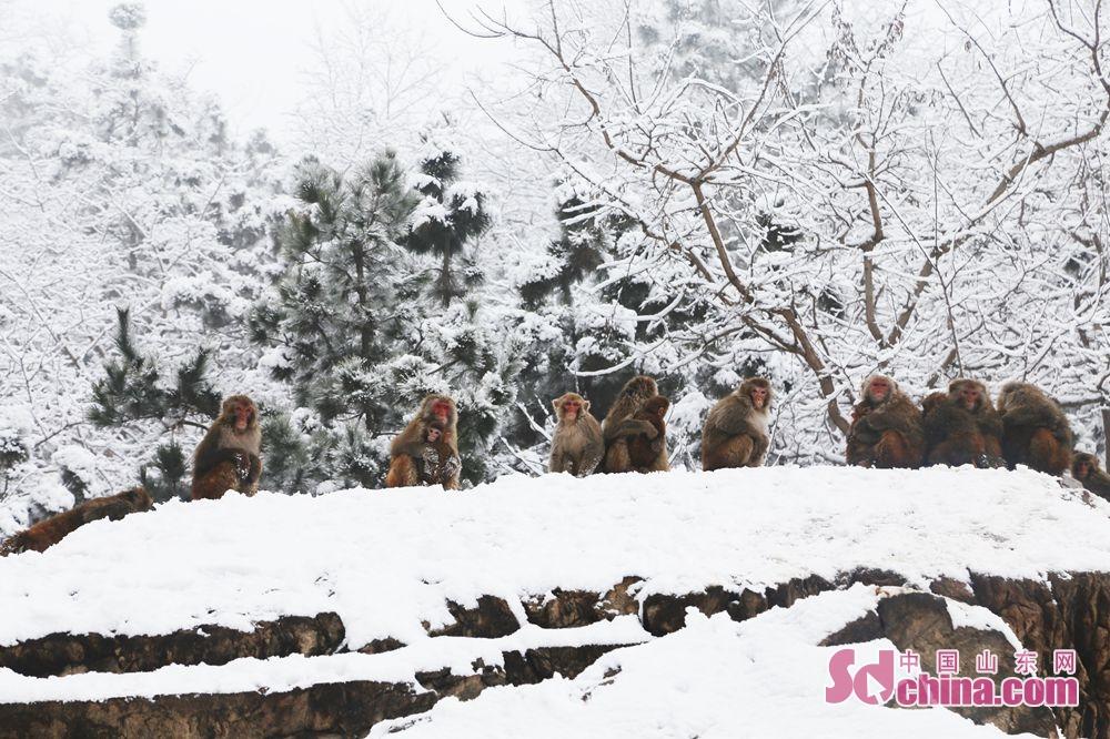<br/>  群猴在雪后的猴山上相互依偎。