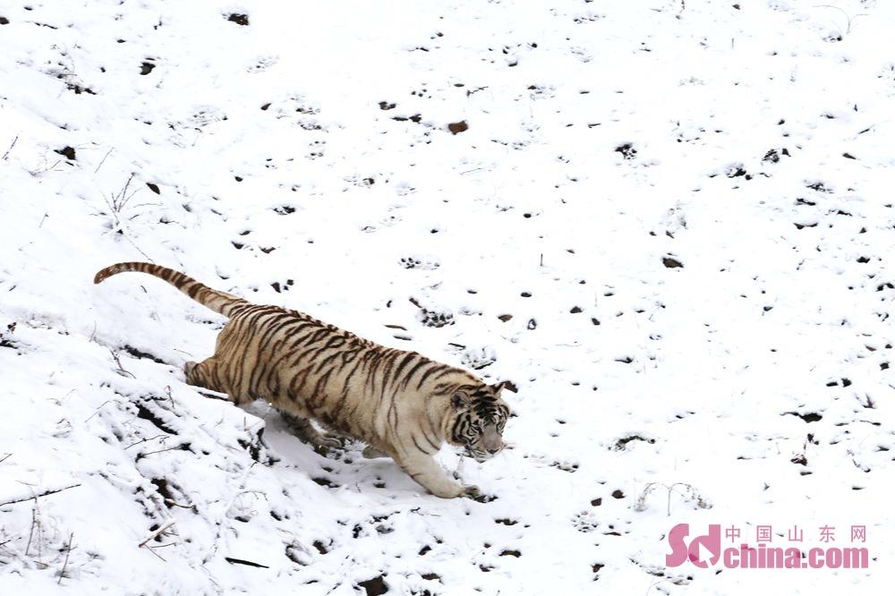 <br/>  东北虎在积雪的山地上闲庭信步。<br/>