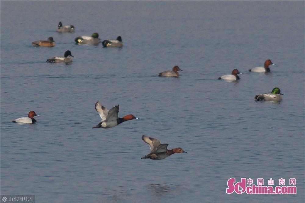 2月23日,这是在青岛一处湿地觅食补充体能的红头潜鸭和螺纹鸭。<br/>