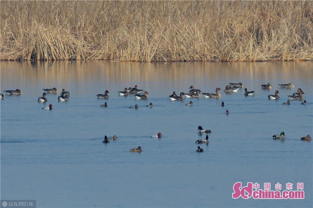 2月23日,这是在青岛一处湿地拍摄到的59只待迁豆雁和鸭群。