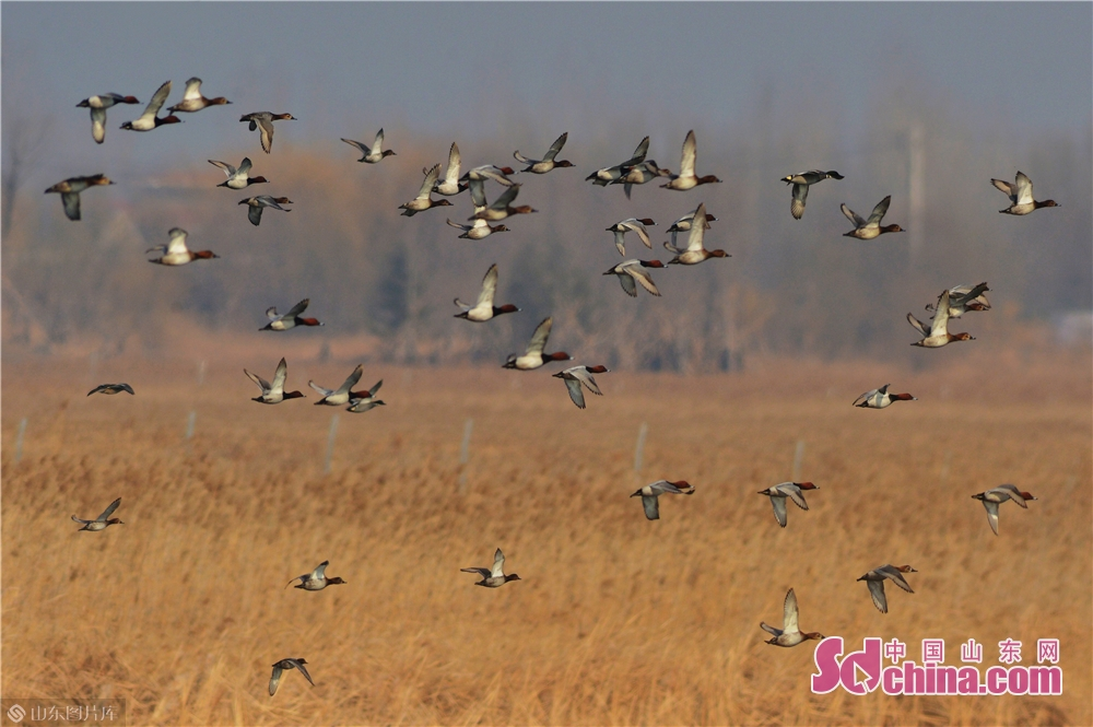 2月23日,成群红头潜鸭在青岛一处湿地练飞觅食,准备迁徙。<br/>