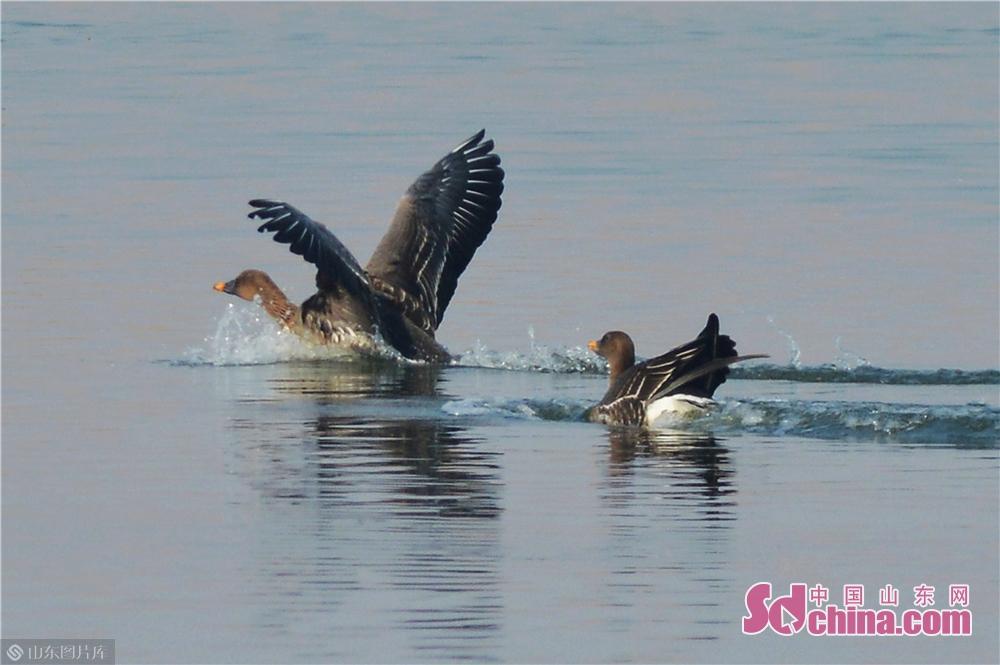2月23日,首次拍到59只豆雁集群在青岛沿海湿地修整觅食,准备再次踏上北飞路程。<br/>