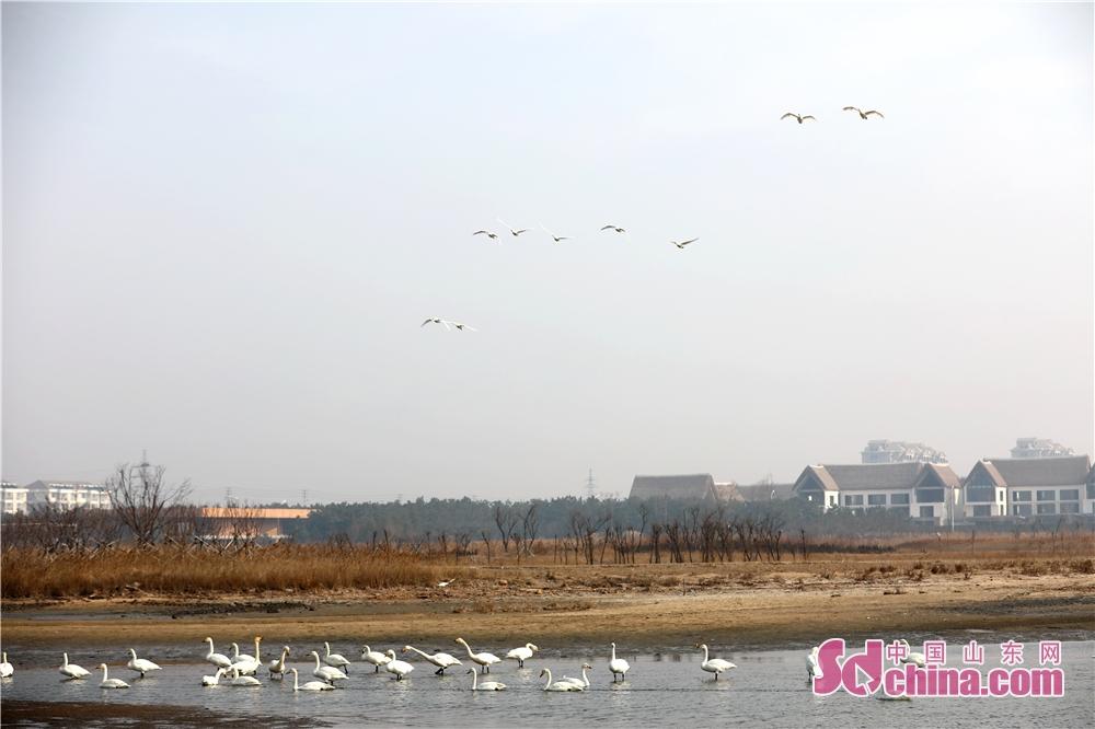 <br/>  2月28日,在山东省荣成市天鹅湖拍摄的正在练飞的大天鹅。<br/>