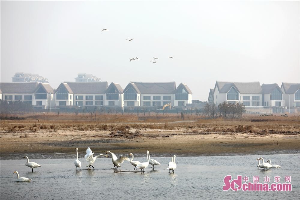 <br/>  2月28日,在山东省荣成市天鹅湖拍摄的正在练飞的大天鹅。