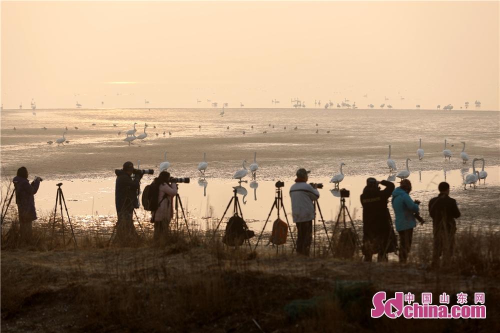 <br/>  2月28日,在山东省荣成市天鹅湖,游客和摄影爱好者正在观赏和拍摄大天鹅。<br/>