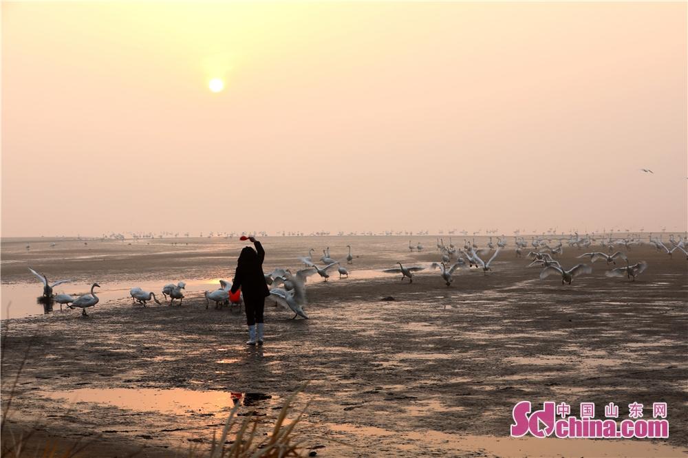 <br/>  2月28日,在山东省荣成市天鹅湖,保护区的工作人员正在给大天鹅加餐。<br/>