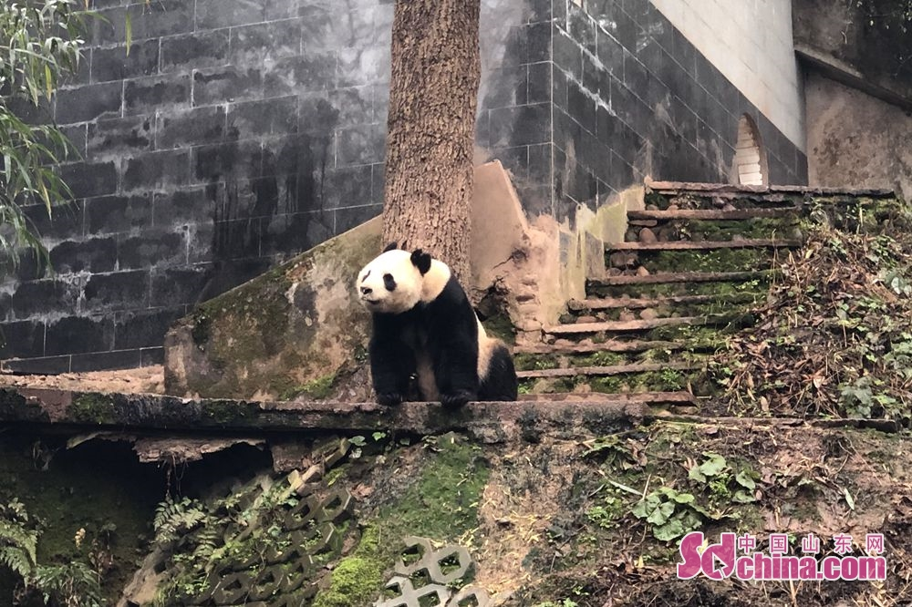 <br/>  近日,济南动物园的大熊猫&amp;ldquo;华奥&amp;rdquo;经过半个月适应期后正式和游客见面,与形单影只多日的大熊猫&amp;ldquo;雅吉&amp;rdquo;组成国宝&amp;ldquo;兄弟团&amp;rdquo;。<br/>