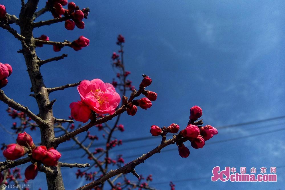 <br/>  泗水梅花节将于3月16日在有着&amp;ldquo;江北第一梅园&amp;rdquo;之誉的泗水梅园盛大开幕,作为济宁市首个赏花活动,泗水梅花节是2019年泗水赏花汇系列活动中的第一站,以种植梅为主题,有2万余棵80多个品种梅树,花期错时开放,可以一直延续到3月底。活动期间,文艺演出、泗水达人秀活动、&amp;ldquo;赏梅花、观奇石&amp;rdquo;游园、梅香书画笔会以及梅花盆景精品展等活动让广大游客尽享初春的旅游盛宴。