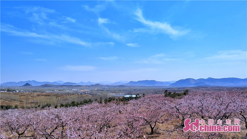 Photo taken on March 23, 2019 shows the blooming flowers in Sishui County in Jining, east China&rsquo;s Shandong Province. The Apricot Blossom Tourism Festival kicked off here on Saturday to greet the warm spring.<br/>
