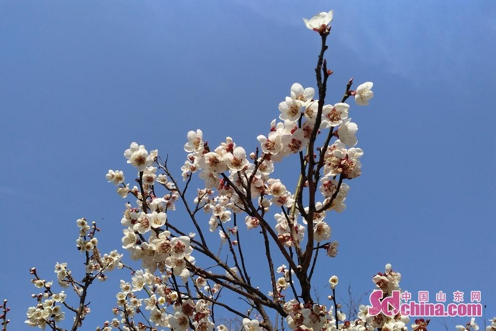 梅の花。<br/>