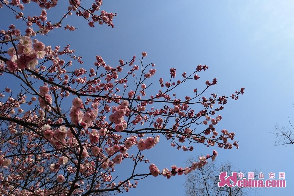 中山公園の梅の花。<br/>
