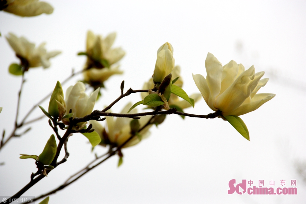 Photo taken on March 27, 2019 shows the blooming flowers in Rencheng Forest Park in Jining, east China&rsquo;s Shandong Province.<br/>