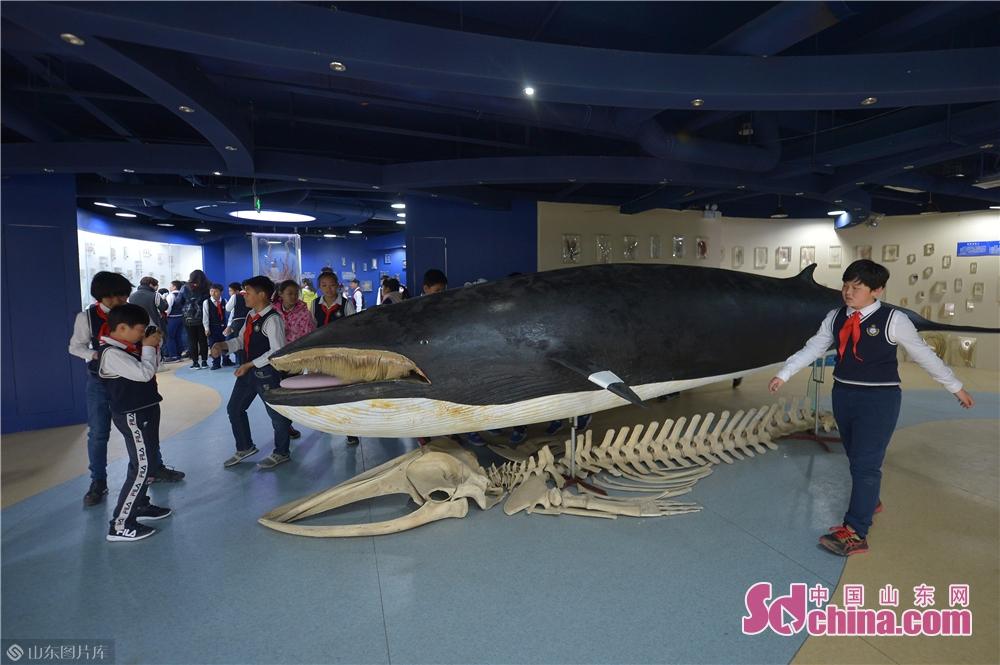<br/>  3月28日,小学生在青岛中国海洋大学海洋生物博物馆参观了解小须鲸。<br/>