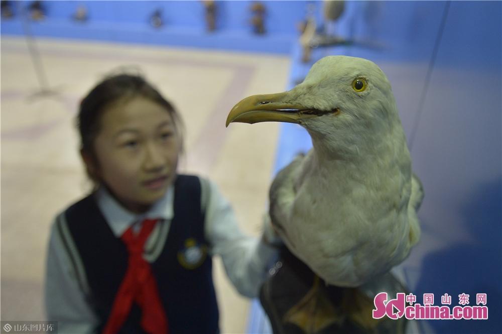 <br/>  3月28日,一名小学生在青岛中国海洋大学海洋生物博物馆参观银鸥标本。