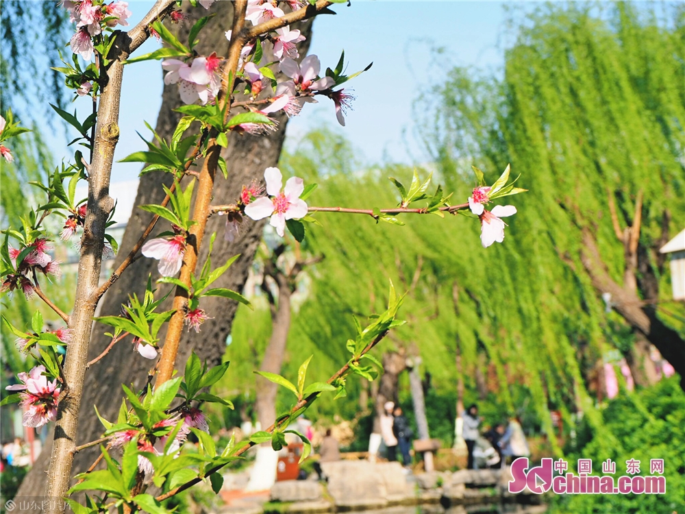 Photo taken on March 30, 2019 shows the peach blossoms in Wulongtan Park in Jinan, Shandong Province. The 18th Wulongtan Cherry Blossom Festival has kicked off recently, attracting a large number of tourists to enjoy the flowers.<br/>