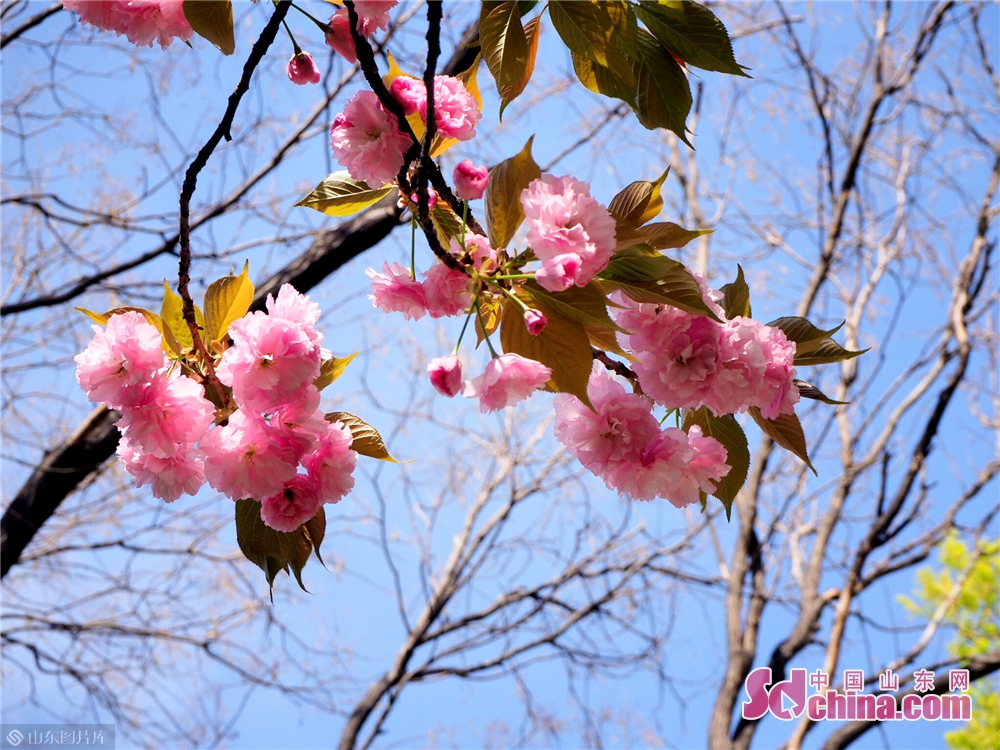 Photo taken on March 30, 2019 shows the cherry blossoms in Wulongtan Park in Jinan, Shandong Province. The 18th Wulongtan Cherry Blossom Festival has kicked off recently, attracting a large number of tourists to enjoy the flowers.<br/>