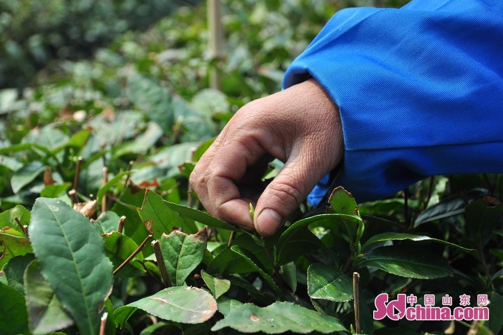 <br/>  据崂山区农业农村局农业综合服务中心主任董玉群介绍,近年来,崂山茶实现了规模化生产和品牌化经营的重大飞跃。制定出台了《关于规范和扶持崂山茶产业发展的试行办法》、《崂山茶三项直补工作试行办法》等一系列扶植崂山茶产业的惠农政策,并对茶叶用药、用肥、苗种改良进行直补,每年投入直补资金1200余万元。<br/>