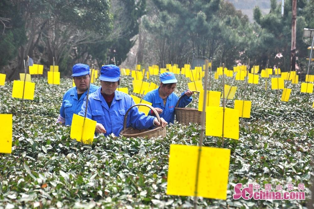 <br/>  目前,云雾茶场的有机茶园基地200余亩,作为崂山有机茶园的代表,青岛云雾茶场的市场定位为中高端,采用有机茶管理模式,2003年以来引进了&ldquo;迎霜&rdquo;、&rdquo;福鼎大白豪&rdquo;&ldquo;龙井43#&rdquo;等十余种优良新品种。目前云雾茶场的崂山春茶的价格一般在每斤860元&mdash;8000元,算上秋茶,崂山茶全年价格在580&mdash;8000元之间。据王永超介绍,大田春茶的价格是由品种、加工工艺、采摘标准以及采摘加工的时段综合制定。<br/>