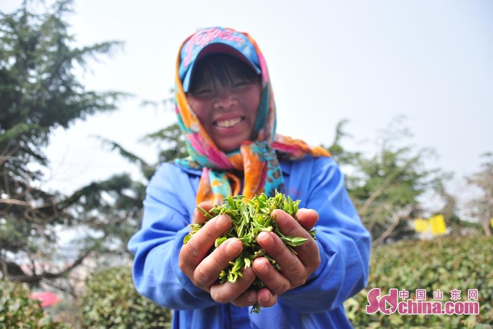 <br/>  为了有效利用现有资源,充分发挥区域比较优势,进一步提高农业附加值,近年来,崂山区委、区政府采取全过程,多层次的有效措施,将崂山茶打造成为优质高端的江北名茶和惠民增收的支柱产业,目前崂山区茶园面积2万余亩,产量1300余吨,产值5.01亿元,已成为推动农民收入持续增加的特色支柱产业之一。<br/>