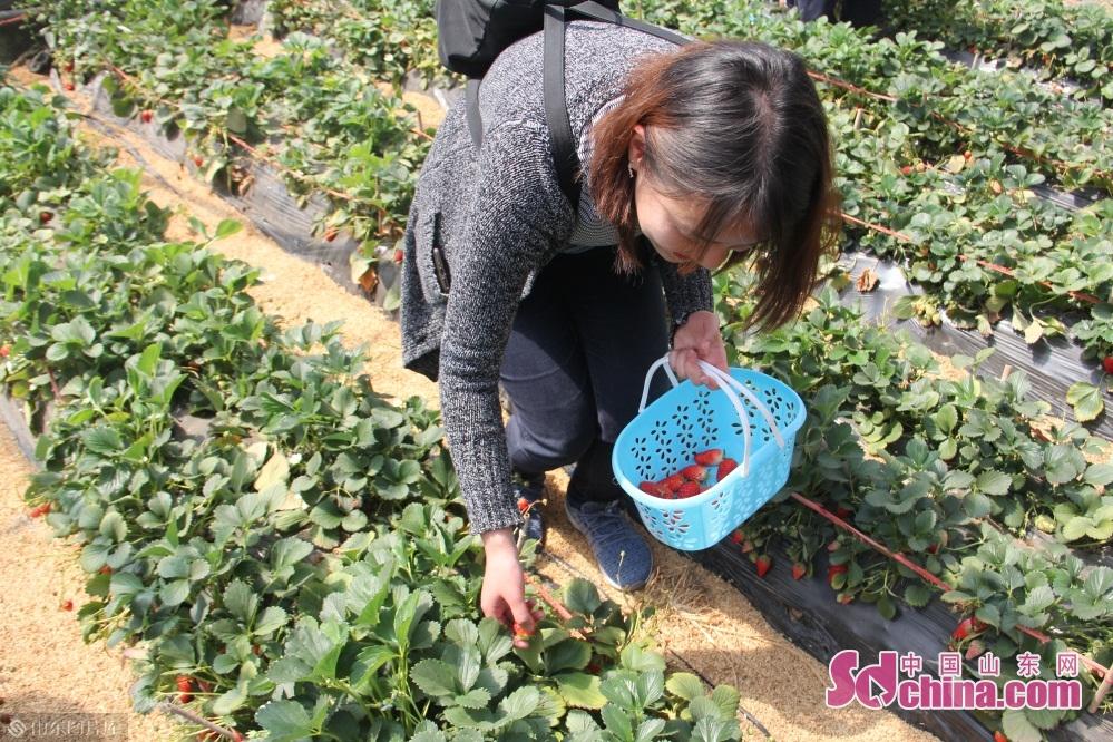 <br/><br/>农场采用标准化生产,管理规范,建立了草莓生产及质量安全追溯体系,对种植、采摘、运输全程监控,确保了食品安全,所生产的章姬草莓连续三年在中国草莓文化旅游节上获得金奖。<br/>