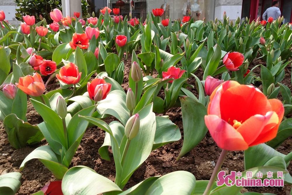 <br/>  4月,扮靓青岛的,不只有落英缤纷的樱花。青岛,街头巷尾、口袋公园里,春光肆意,百花争奇斗艳。<br/>