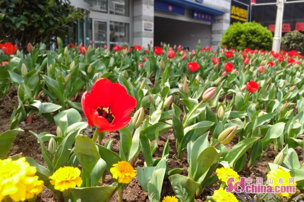 <br/>  澳门路上的郁金香清新脱俗,红的、黄的、粉的。<br/>