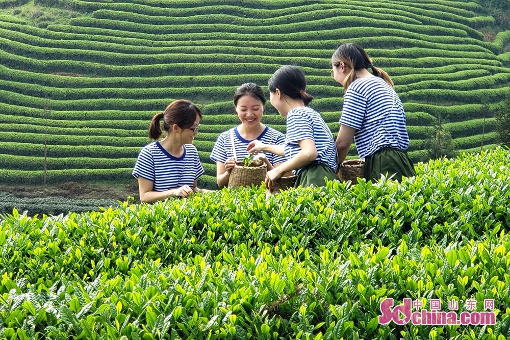 <br/>  &ldquo;知青&rdquo;们在遵义凤冈忙着采茶,遵义凤冈知青茶海里的这群青春靓丽的年轻人生动&ldquo;再现&rdquo;70年代上山下乡那段激情岁月。<br/>