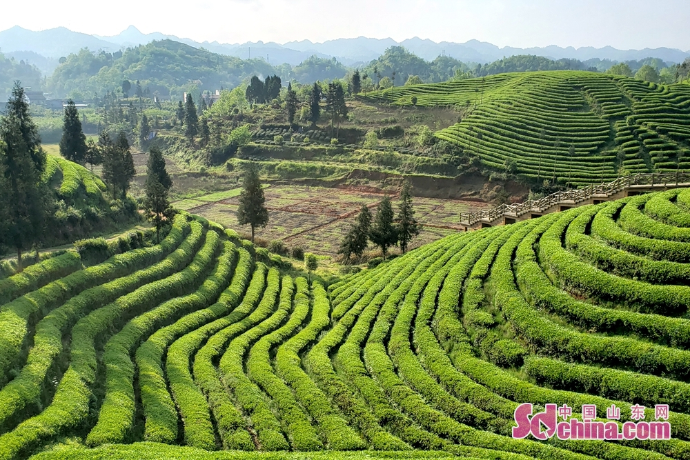 <br/>  目前,全县有茶园总面积50万亩,投产茶园28万亩,涉及全县14个乡镇70个村居,是全国重要的有机茶产区。<br/>