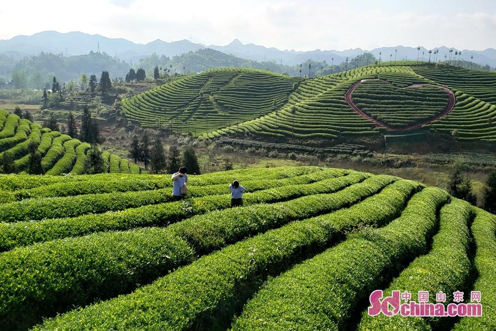 <br/>  凤冈县何坝镇知青茶山,发展以知青文化为主题的文化园,吸引游客前来追寻回忆。在知青茶山,以茶树做成的&ldquo;茶海红心&rdquo;文字和符号清晰可见。(摄影 李红梅)<br/>